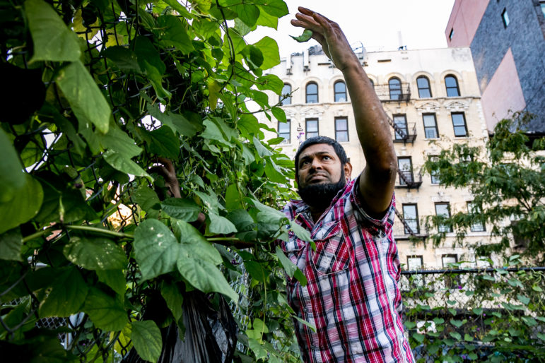 Mohammed-Uddin has been planting and harvesting beans by the East Harlem Little League field fence near 111th Street for years. Parcels adjacent to the field could see housing development.