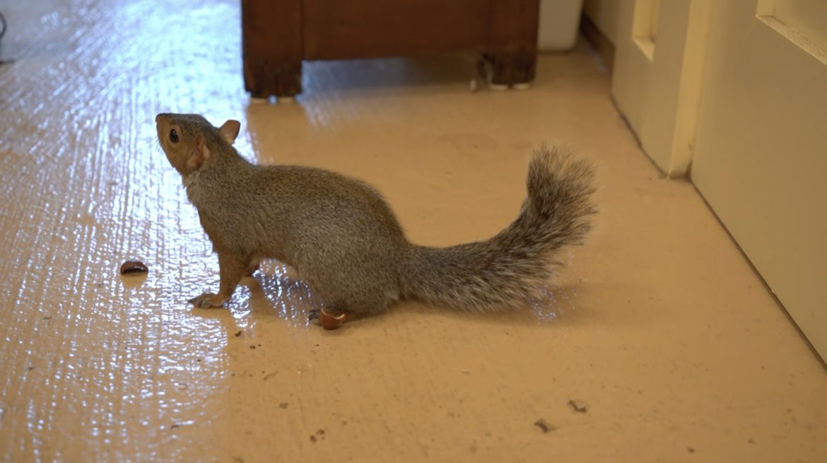 squirrel in rehab